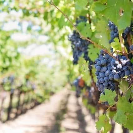 Wine Vineyard
